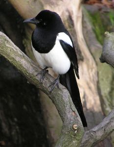 WikiCommons_Magpie